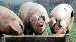 pigs_at_trough